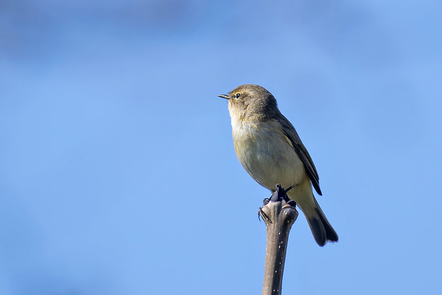 Tjiftjaf-Common Chiffchaff (Phylloscopus collybita)