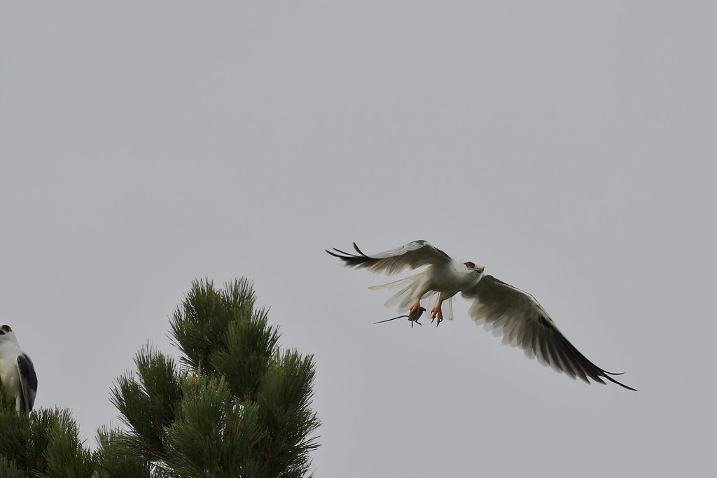 Black -shouldered Kites ( and she is hungry )