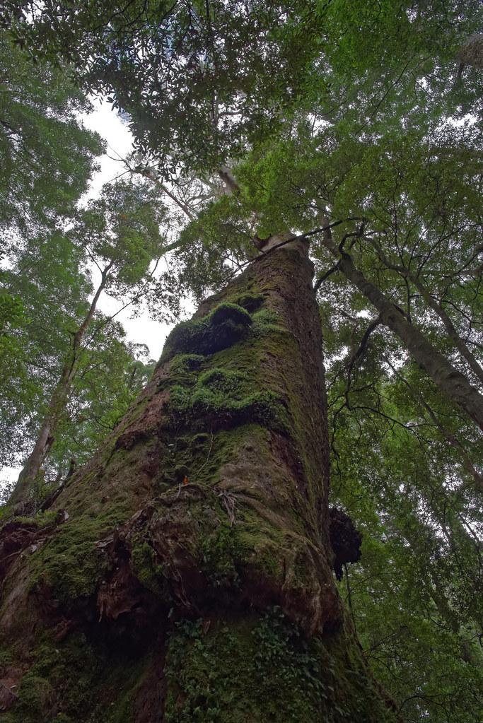 Trees of the Tarkine