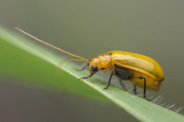_Z2A8542 leaf beetle