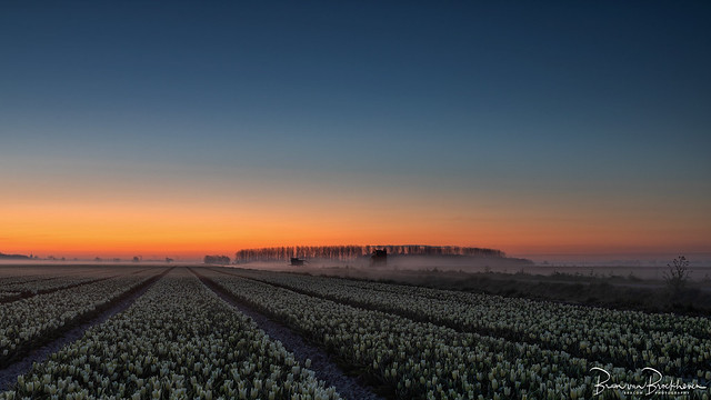 Tulpenveld before sunrise with ground fog