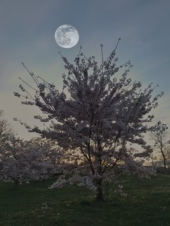 Pink moon & Cherry blossoms