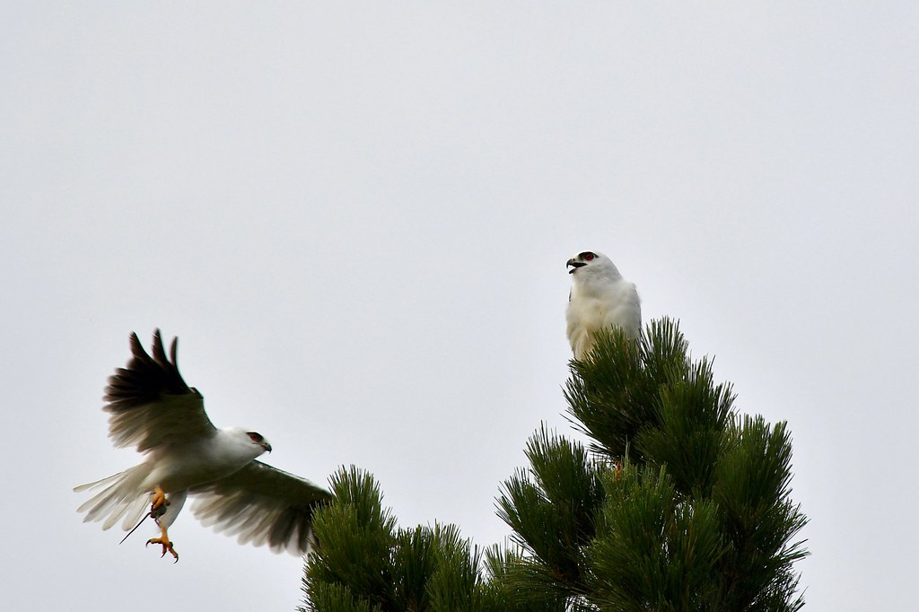 Black-shouldered Kites ( its about time )