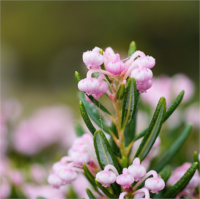 pink........with droplets