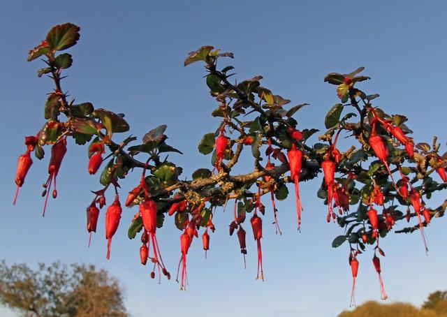 Fuchsia-flowered Gooseberry