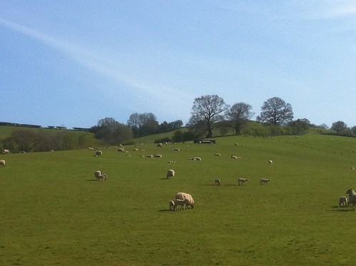 Morning walk: Sheep and lambs