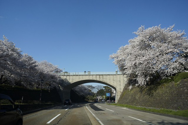 金沢の桜散り初め