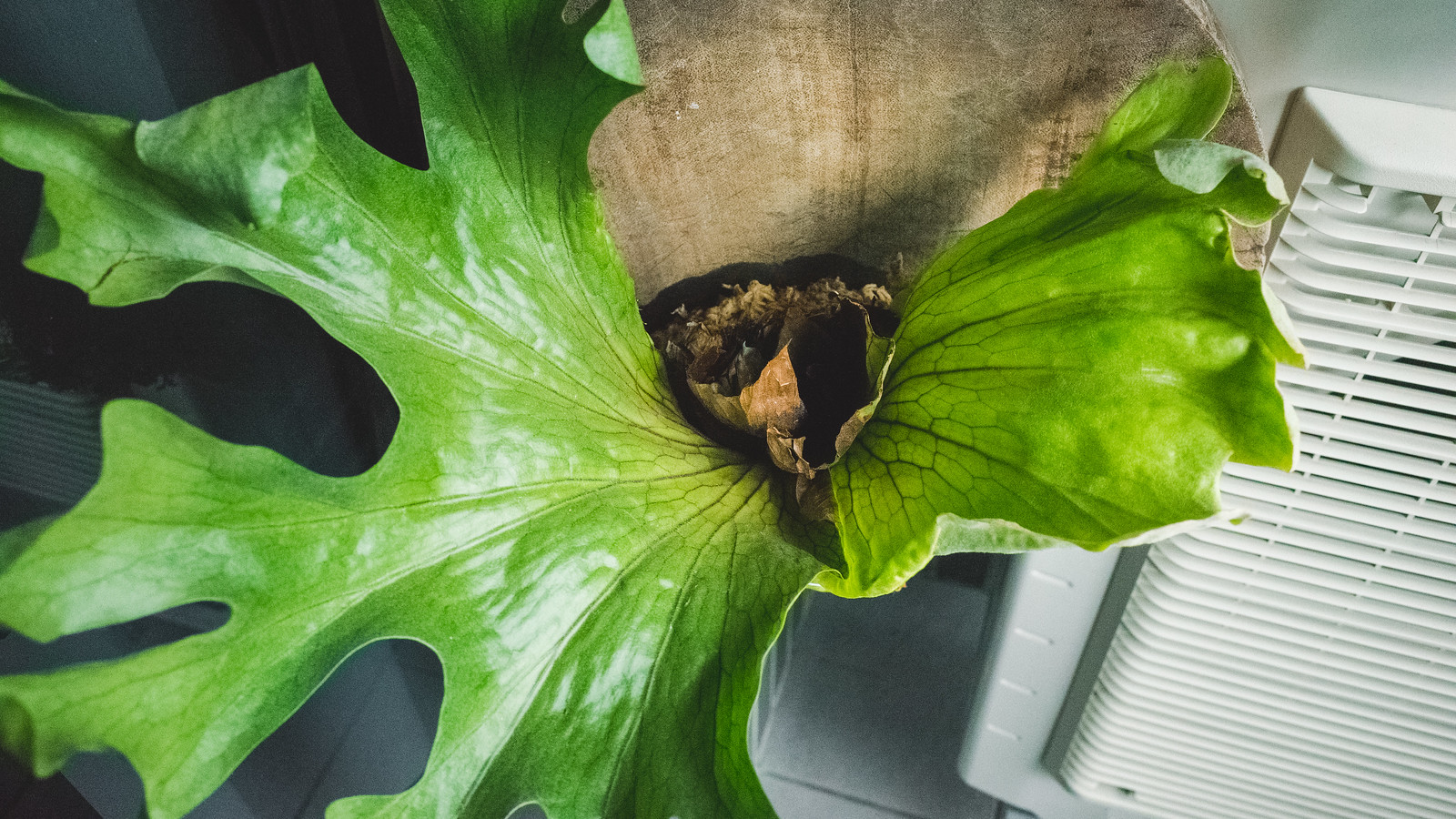 女王鹿角蕨成長紀錄