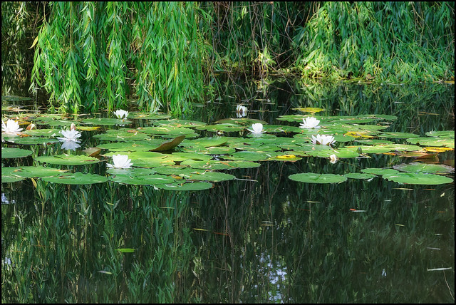 Waterlilies | Büdelsdorf, Germany