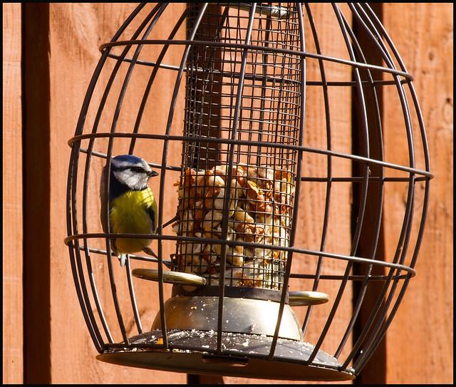 Blue Tit at the Bird Feeder