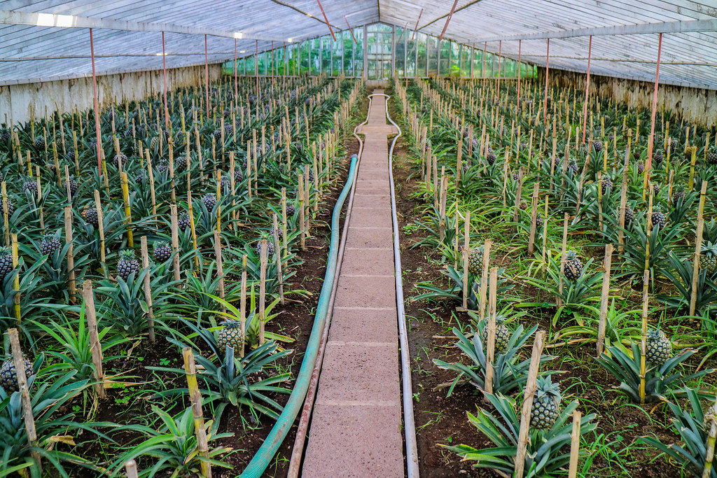 Interior de uno de los invernaderos de la plantación Arruda en Ponta Delgado