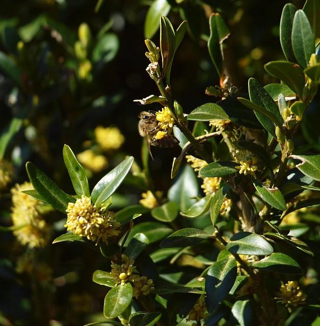 Pollen-Sammler im Buchs