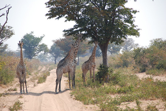 Verso Savuti-giraffe