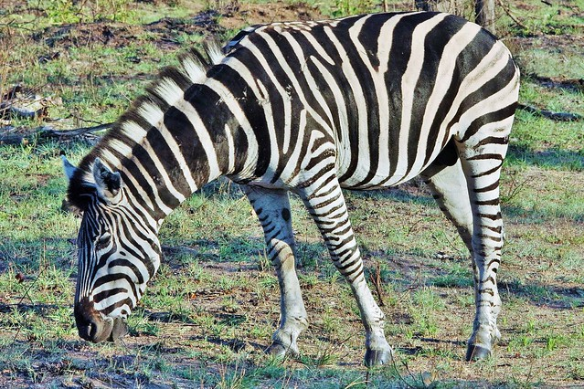 Plains Zebra (Male) (Equus quagga)