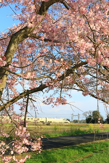 ヒガハスの桜とトランスイート四季島