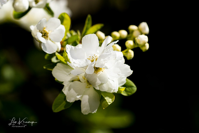 Springblossem | Lentebloesem