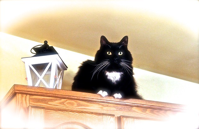 ZORRO the CAT ... SAY BONJOUR !  from MONTREAL ( Quebec ) CANADA