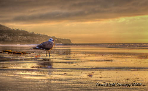 goldenbeachbird sea seagull seabird torrancebeach torrance california southerncalifornia ocean pacificocean sunset