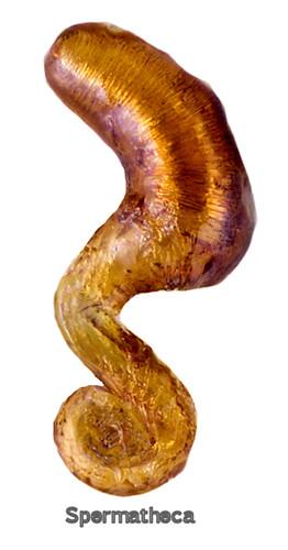 Boreophilia eremita (Rye, 1866) Genital