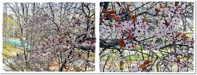 My one fav tree from my kitshen's window - Akkor is tavasz van!HAPPY EASTER, my dear Flikr friend