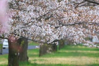 ヒガハスの桜