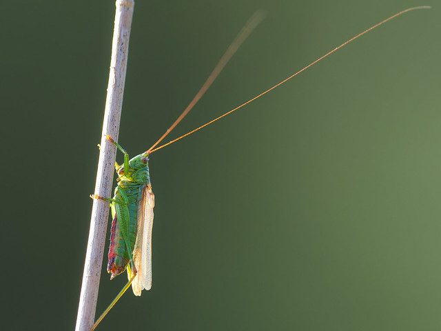 Singing Long-Winged Conehead