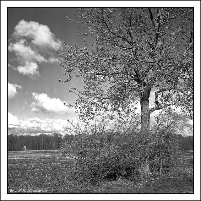 Feldahorn (Acer campestre), Rolleiflex 3,5T