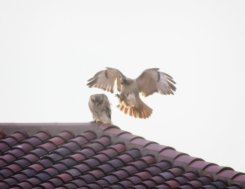Washington Square red-tail pair