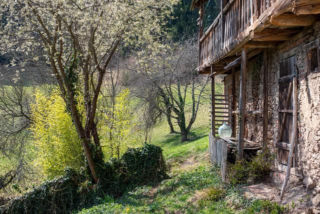 OLD FARM HOUSE & FLOWERING PLUM TREE