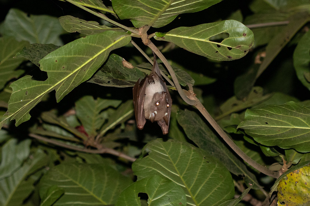 Epomorphus gambianus (Gambian Epauletted Fruit Bat) - Pteropodidae - Ankobra Beach, Western Region, Ghana