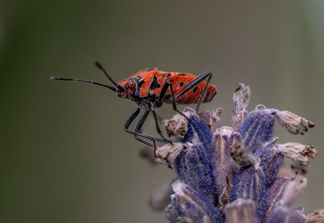 A Bug on Lavender