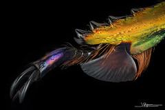 Garra de Lamprima adolphinae [Indonesia, Papua Nueva Guinea] [Explore 2020-04-08 #31]