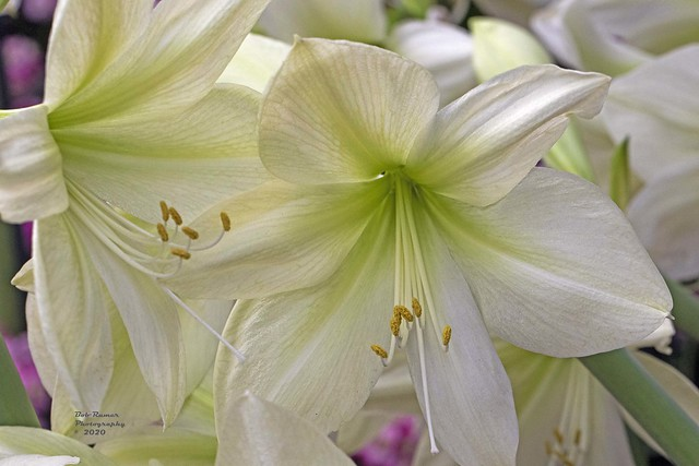 Amaryllis Lemon Star 2.