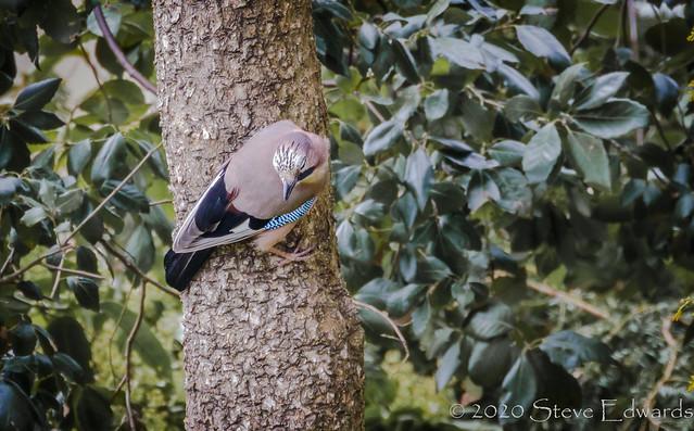 Jay on a tree!