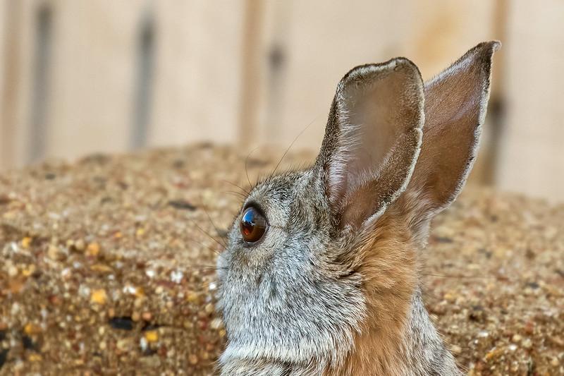 Rabbit-8-7D2-032420