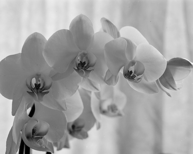 Orchids (or things to do when circumstance stops you playing  in the woods). Walker Titan SF with Rodenstock 150mm, Ilford  Delta 100@ISO50 in Perceptol