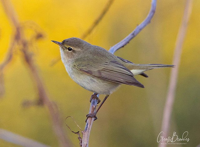 Chiffchaff (from today's hour excercise)