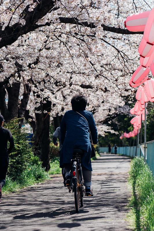 CherryBlossoms7_12