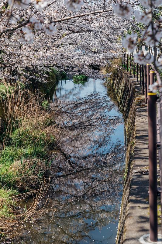 CherryBlossoms7_09