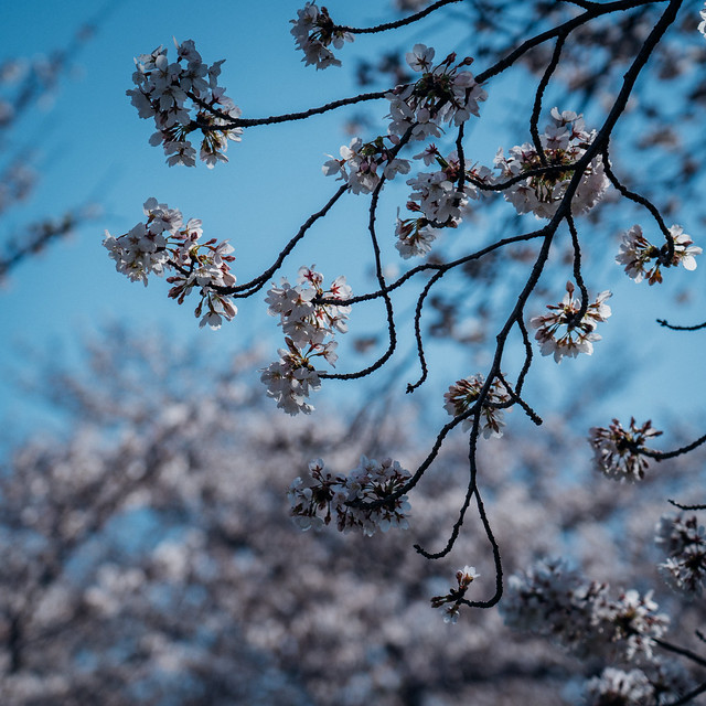 CherryBlossoms7_06
