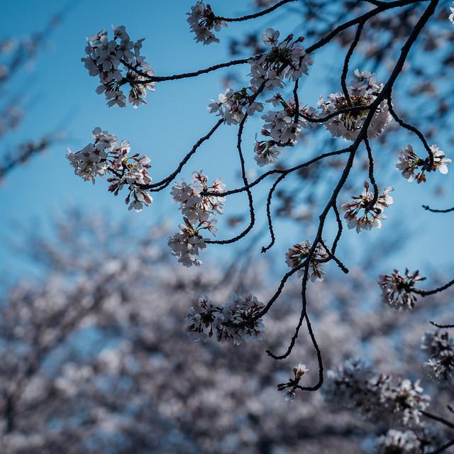 CherryBlossoms7_06