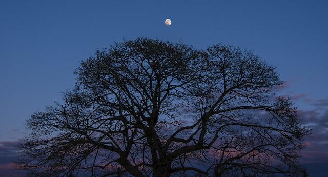 Big Beautiful Tree at Sunset - April 5, 2020