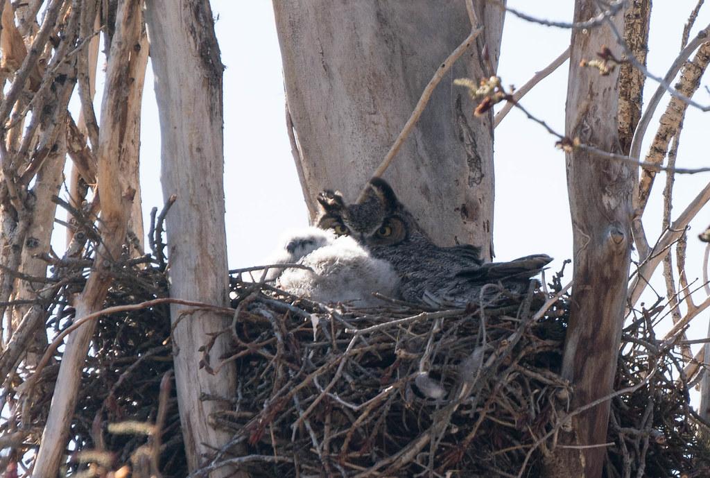 Mamma owl 2 (1 of 1)