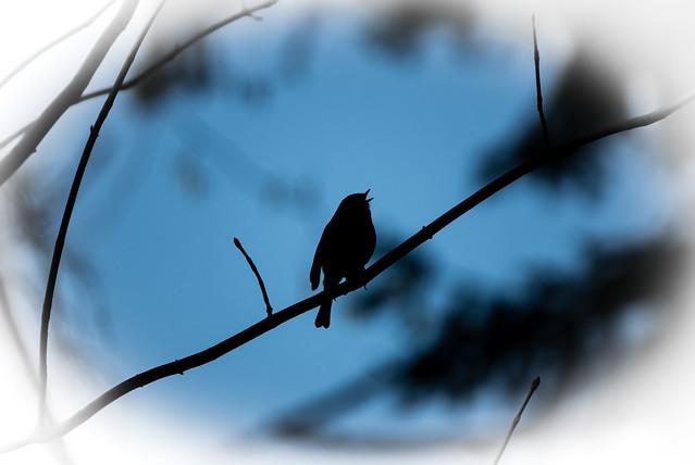 Rotkehlchen / European robin (Erithacus rubecula)