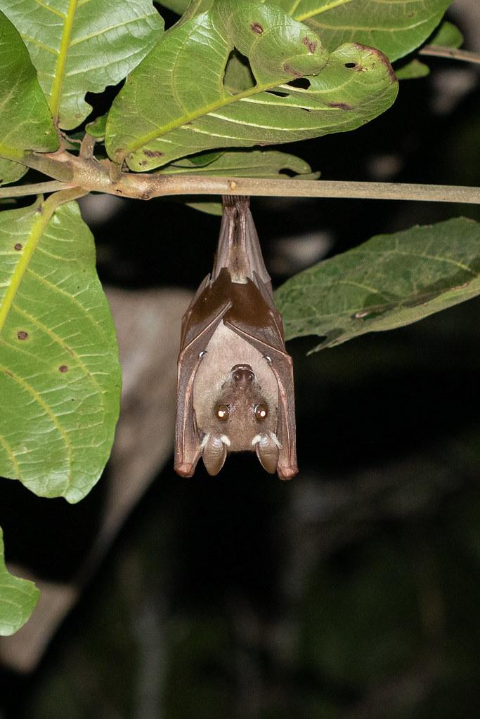 Epomorphus gambianus (Gambian Epauletted Fruit Bat) - Pteropodidae - Ankobra Beach, Western Region, Ghana-2