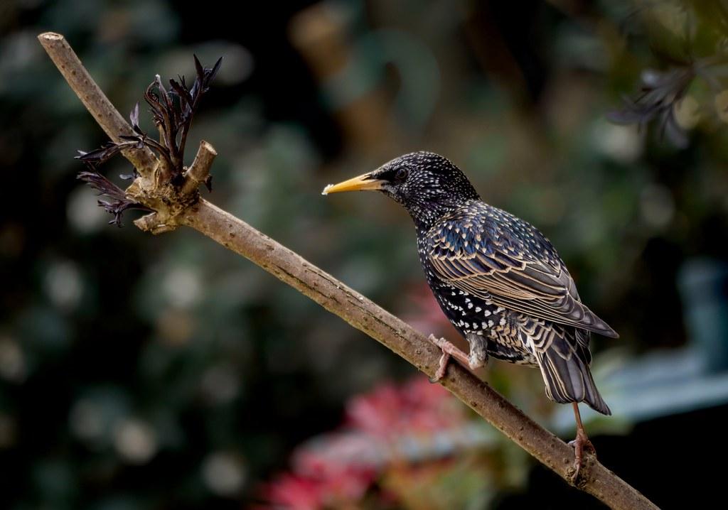 Garden starling