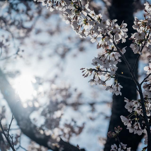 CherryBlossoms7_08