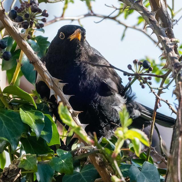 #lockdown #gardensafari - male blackbird eating ivy berries