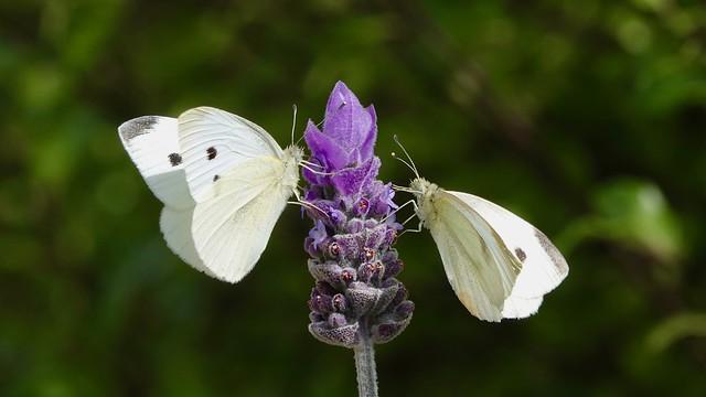 Lavender lovers