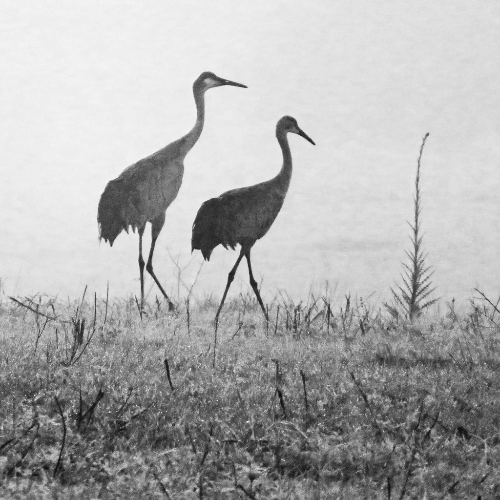 cranes...my morning walk